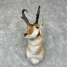 Pronghorn Antelope Shoulder Mount For Sale #25291 @ The Taxidermy-Store