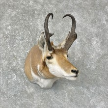 Pronghorn Antelope Shoulder Mount For Sale #25293 @ The Taxidermy-Store
