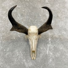 Pronghorn Skull & Horn European Mount #24257 For Sale @ The Taxidermy Store
