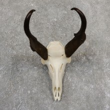 Pronghorn Skull & Horns European Mount #19822 For Sale @ The Taxidermy Store