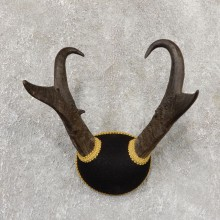 Pronghorn Taxidermy Horn Mount #19029 For Sale @ The Taxidermy Store