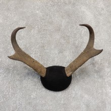 Pronghorn Taxidermy Horn Mount #19031 For Sale @ The Taxidermy Store