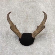 Pronghorn Taxidermy Horn Mount #19032 For Sale @ The Taxidermy Store