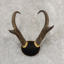 Pronghorn Taxidermy Horn Mount #19035 For Sale @ The Taxidermy Store