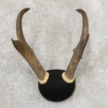 Pronghorn Taxidermy Horn Mount #19036 For Sale @ The Taxidermy Store