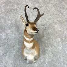 Pronghorn Taxidermy Shoulder Mount #23212 For Sale @ The Taxidermy Store