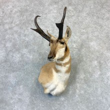 Pronghorn Taxidermy Shoulder Mount #23213 For Sale @ The Taxidermy Store