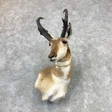 Pronghorn Taxidermy Shoulder Mount #23214 For Sale @ The Taxidermy Store