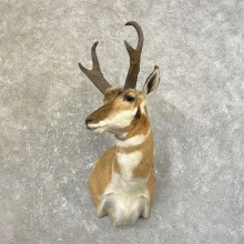 Pronghorn Taxidermy Shoulder Mount #25158 For Sale @ The Taxidermy Store
