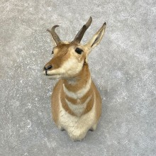 Pronghorn Taxidermy Shoulder Mount #25159 For Sale @ The Taxidermy Store