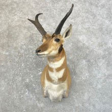 Pronghorn Taxidermy Shoulder Mount #25161 For Sale @ The Taxidermy Store