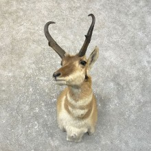 Pronghorn Taxidermy Shoulder Mount #25162 For Sale @ The Taxidermy Store
