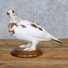 Perched Rock Ptarmigan Mount For Sale #14836 @ The Taxidermy Store