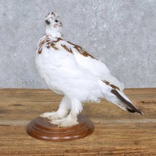 Standing Ptarmigan Mount For Sale #14835 @ The Taxidermy Store