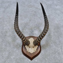 Puku Skull & Horn European Mount For Sale #14522 @ The Taxidermy Store