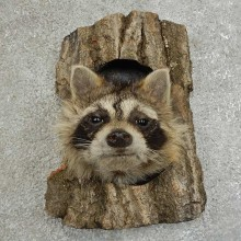 Raccoon Head Novelty Mount For Sale #16864 @ The Taxidermy Store