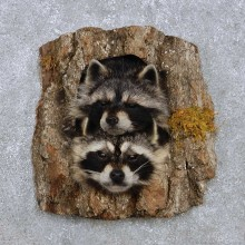 Raccoon Head Pair Mount For Sale #14219 @ The Taxidermy Store