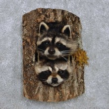 Raccoon Head Pair Mount For Sale #14227 @ The Taxidermy Store