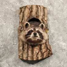 Raccoon Mount in Log #11457 - For Sale - The Taxidermy Store