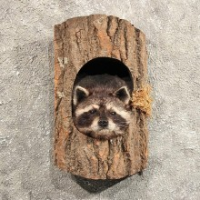Raccoon Mount in Log #11458 - For Sale - The Taxidermy Store