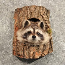 Raccoon Mount in Log #11460 - For Sale - The Taxidermy Store