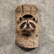 Raccoon Mount in Log #11463 - For Sale - The Taxidermy Store