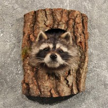 Raccoon Mount in Log #11464 - For Sale - The Taxidermy Store