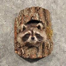 Raccoon Mount in Log #11466 - For Sale - The Taxidermy Store