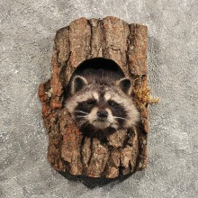 Raccoon Mount in Log #11455 - For Sale - The Taxidermy Store