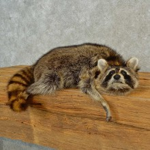 Raccoon Life-Size Mount For Sale #16573 @ The Taxidermy Store