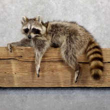 Raccoon Life-Size Mount For Sale #19477 @ The Taxidermy Store