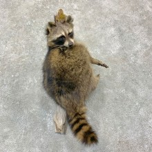 Raccoon Life-Size Mount For Sale #23168 @ The Taxidermy Store