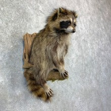 Raccoon Life-Size Mount For Sale #23169 @ The Taxidermy Store