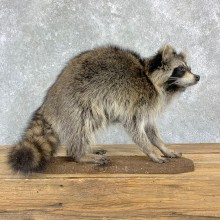 Raccoon Life-Size Mount For Sale #23175 @ The Taxidermy Store