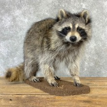 Raccoon Life-Size Mount For Sale #23205 @ The Taxidermy Store