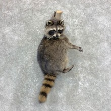 Raccoon Life-Size Mount For Sale #23389 @ The Taxidermy Store