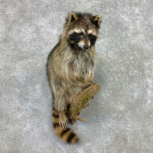 Raccoon Life-Size Mount For Sale #23406 @ The Taxidermy Store