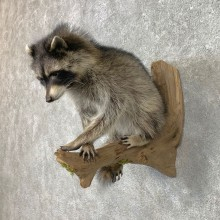 Raccoon Life-Size Mount For Sale #23407 @ The Taxidermy Store