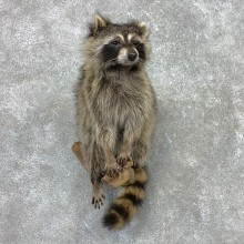 Raccoon Life-Size Mount For Sale #23408 @ The Taxidermy Store