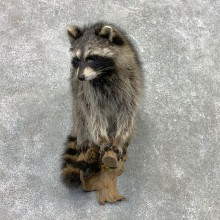 Raccoon Life-Size Mount For Sale #23409 @ The Taxidermy Store