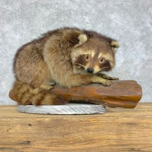 Raccoon Life-Size Mount For Sale #23476 @ The Taxidermy Store