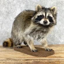 Raccoon Life-Size Mount For Sale #24059 @ The Taxidermy Store