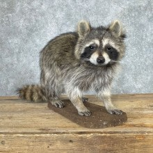 Raccoon Life-Size Mount For Sale #24060 @ The Taxidermy Store