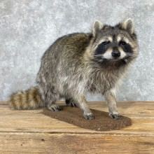 Raccoon Life-Size Mount For Sale #24061 @ The Taxidermy Store