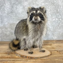 Raccoon Life-Size Taxidermy Mount For Sale