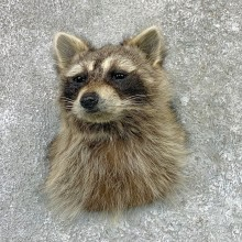 Raccoon Shoulder Mount For Sale #22992 @ The Taxidermy Store