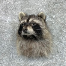 Raccoon Shoulder Mount For Sale #23064 @ The Taxidermy Store