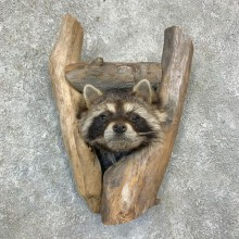 Raccoon Shoulder Mount For Sale #23166 @ The Taxidermy Store