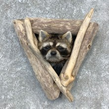 Raccoon Shoulder Mount For Sale #23283 @ The Taxidermy Store