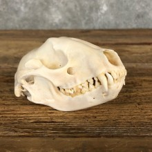 Raccoon Taxidermy Full Skull Mount #19859 For Sale @ The Taxidermy Store